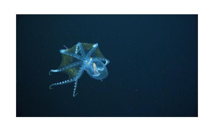 ABD'de Schmidt Okyanus Enstitüsü, Pasifik Okyanusu'nun derin sularında gerçekleştirdiği araştırma seferinde nadir rastlanan 'Cam Ahtapot'u görüntüledi.