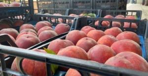Şeftalide hasat başladı, rekoltede yüzde 50 düşüş var
